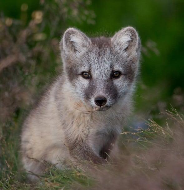 Arctic Fox Cub.