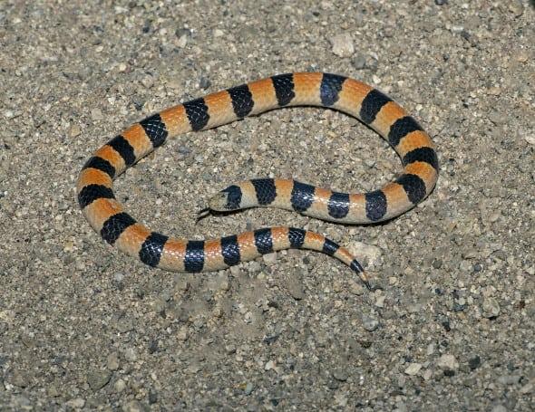 Variable Sandsnake - Chilomeniscus Stramineus