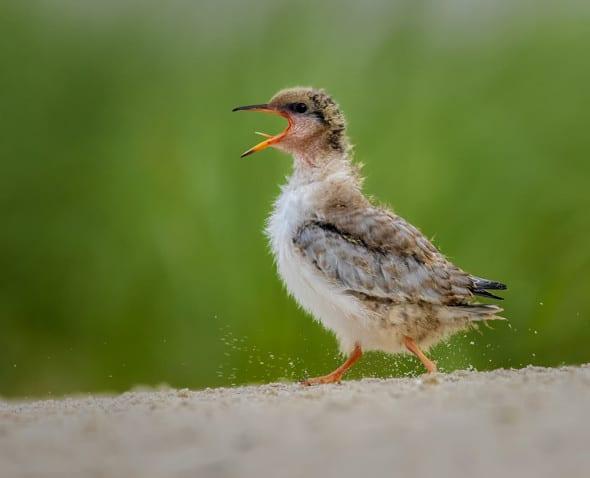 Tern Chick