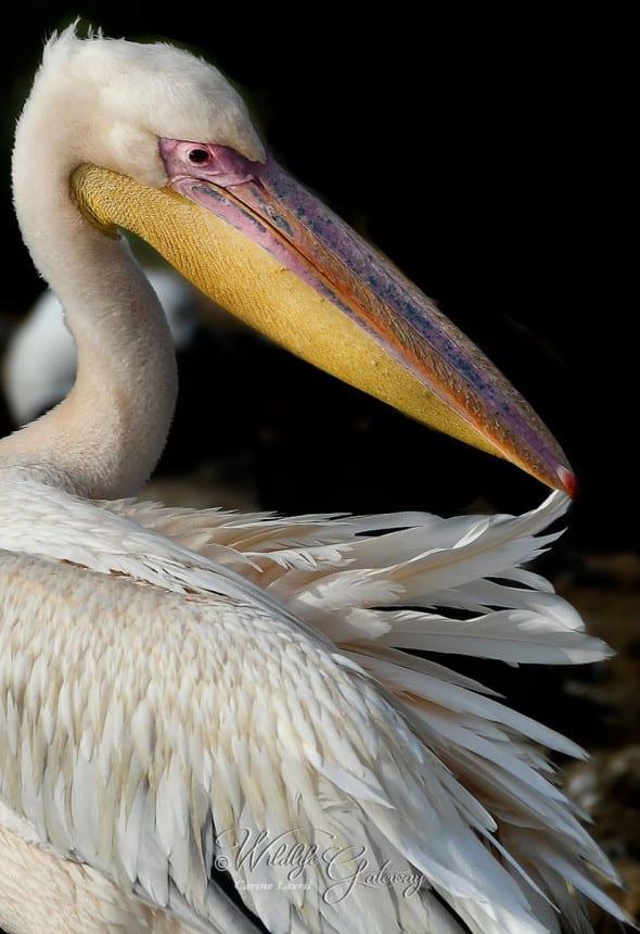 White Pelican in Uganda