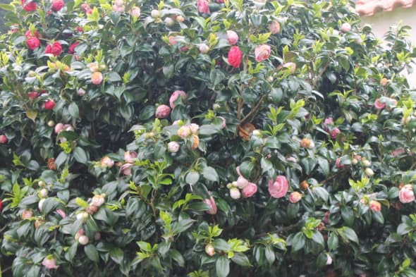 Camellia Tree in Two Colors