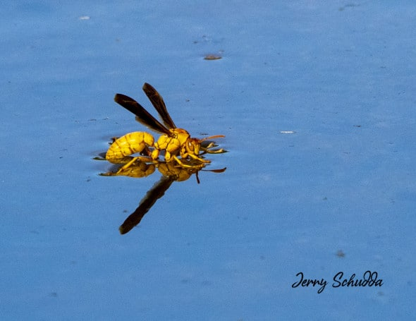 Paper Wasp - Polistes Fuscatus - Drinking