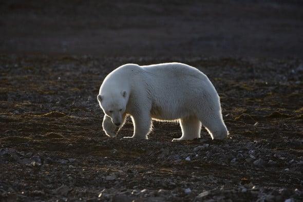 Polar Bear Adult Female