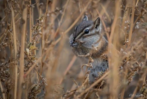 Chipmunk in the Grass