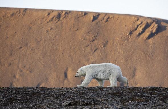 Polar Bear Yearling