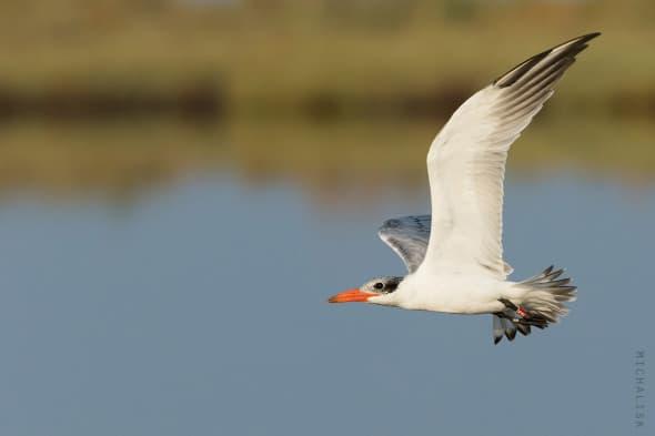Caspain Tern Ringed in Sweden