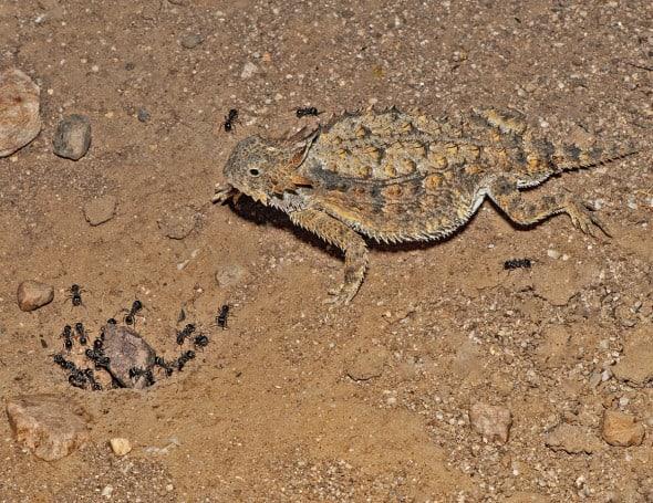 Regal Horned Lizard - Harvester Ants
