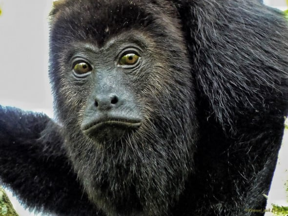 "Howler Monkey: ""Are We Related?"""