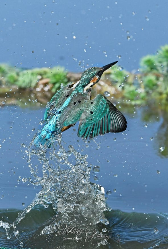 It's My Fish, Says the E. Kingfisher!