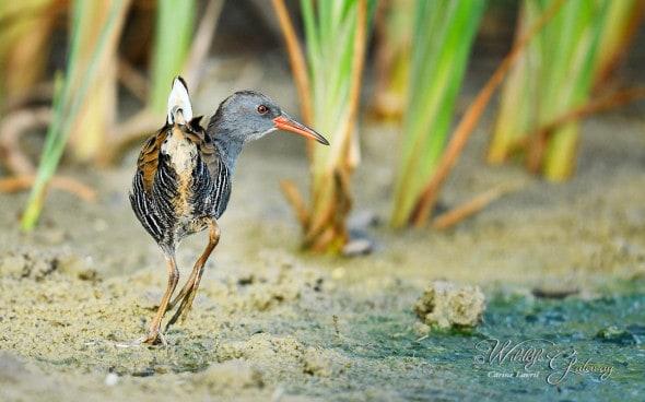 The Flat Bird! -  a Rail