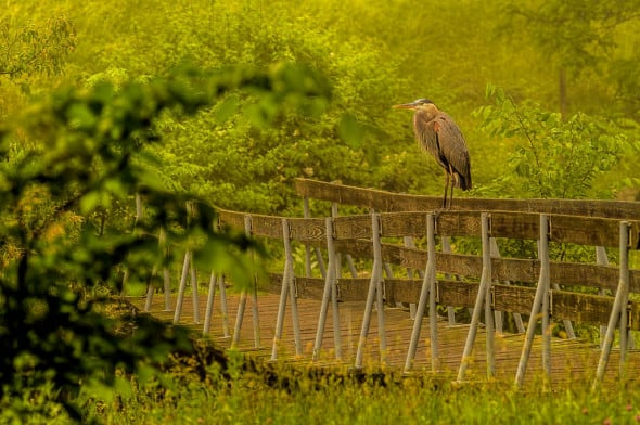 Great Blue Heron  in the Fog