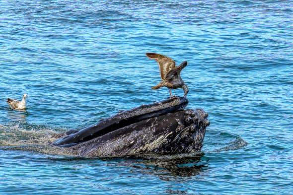 Herring Gull Picking on Whale Head