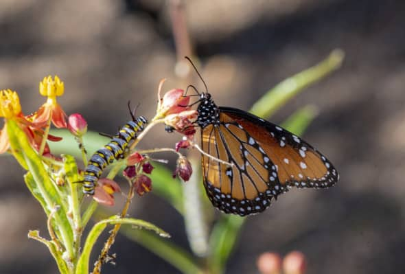 Queen Butterfly and Caterpillar on Milk Weed
