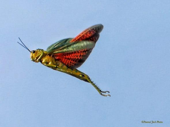 Locust in Flight