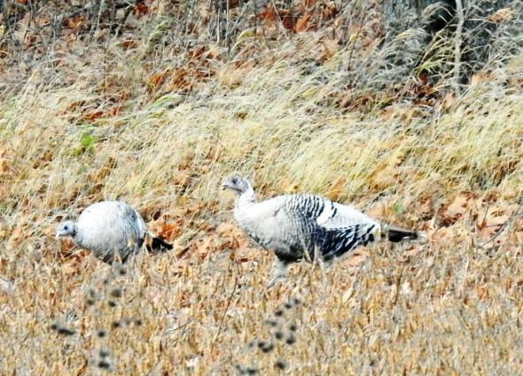 White Wild Turkeys
