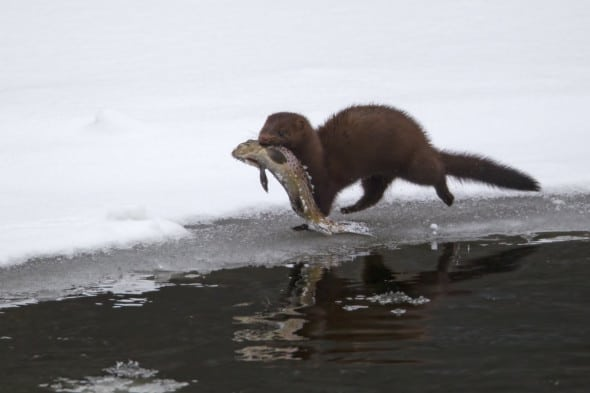 Catch of the Day (Mink W/ Brown Trout)