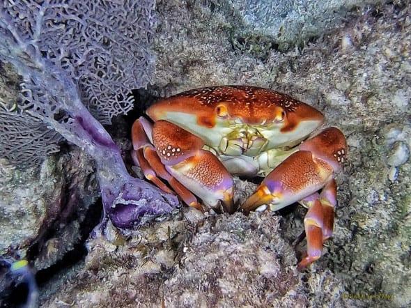 The Cutest Caribbean Nighttime Reef Crab.
