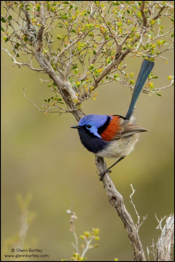 Blue-breasted Fairywren (Malurus pulcherrimus)