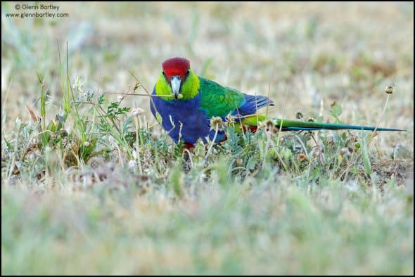 Red-capped Parrot (Purpureicephalus spurius)