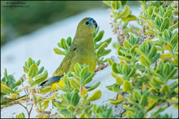 Rock Parrot Neophema petrophila