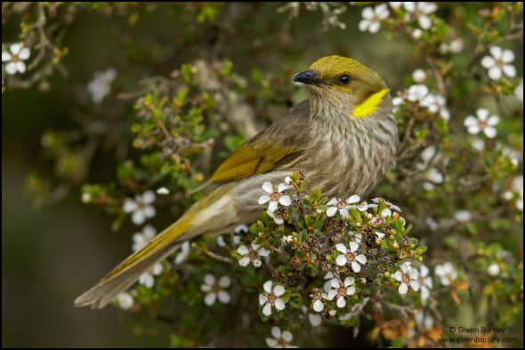 Yellow-plumed Honeyeater (Ptilotula ornata)