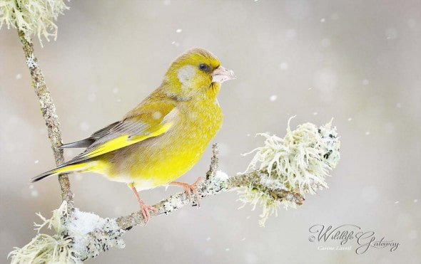 Greenfinch Resisting Winter