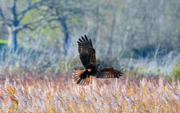 Marsh Harrier Catching Quarry