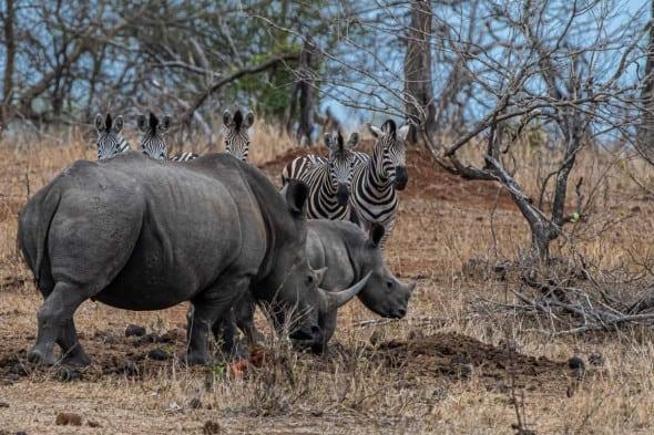 White Rhinos and Spectators