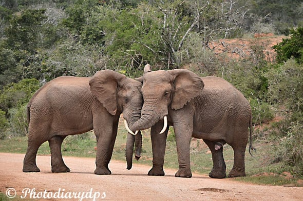 Elephants in Love.