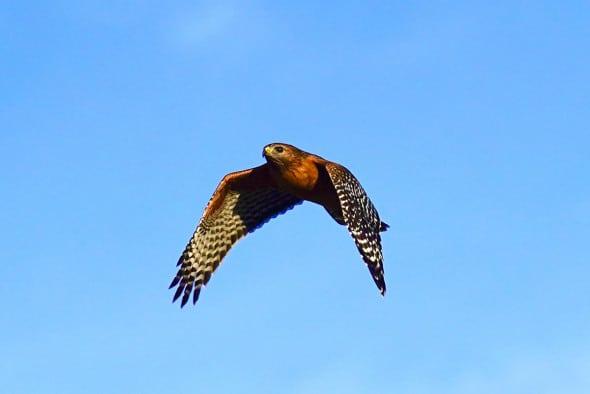 California Red Shoulder Hawk