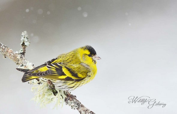 Happy NY with This Siskin!