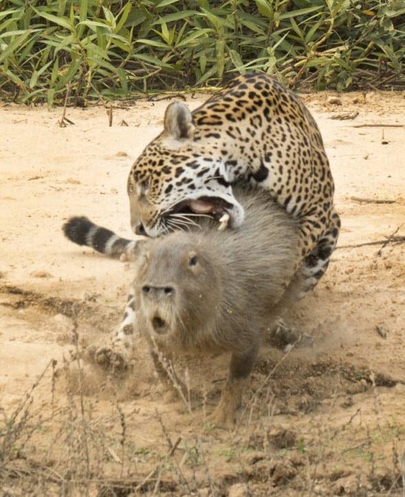 Jaguar with Capybara
