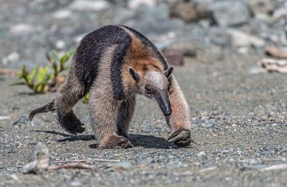 Banded Anteater