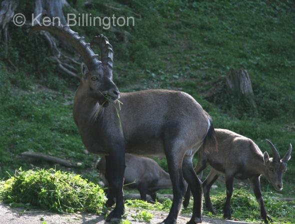 Alpine Ibex (Capra ibex) (1)