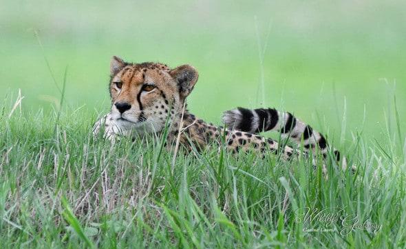 Cheetah Stalking Prey