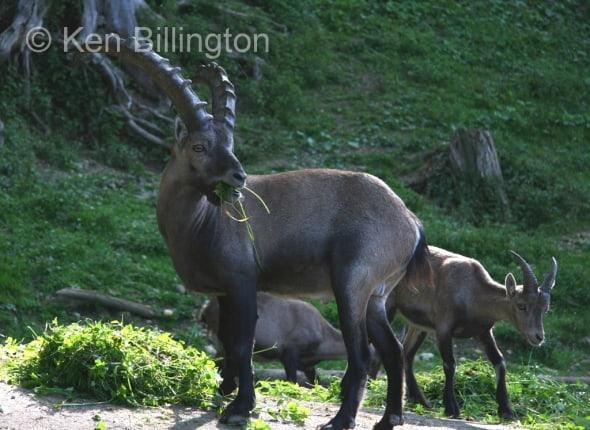 Alpine Ibex (Capra ibex) (3)