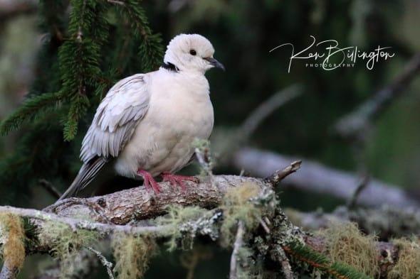 Barbary Collared Dove