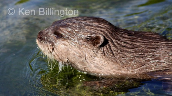 Oriental Small-clawed Otter (Aonyx cinerea) (3)