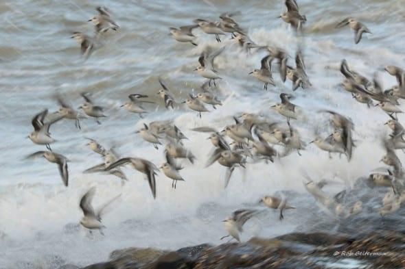 Sanderlings in a Storm