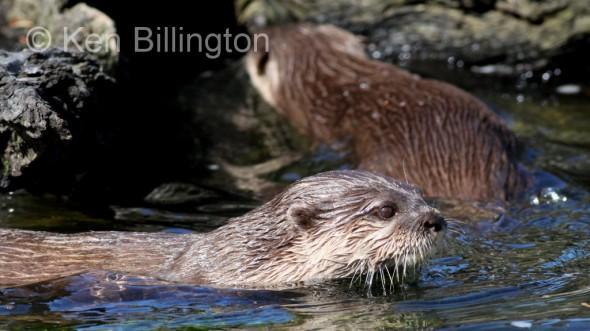 Oriental Small-clawed Otter (Aonyx cinerea) (7)
