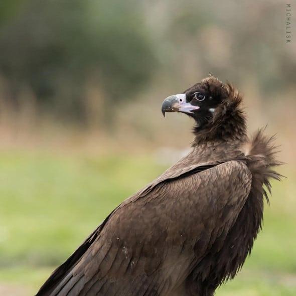 Cinereus Vulture Portrait