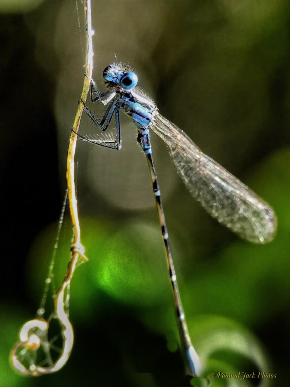 Curious Damselfly (Dancers, Argia)