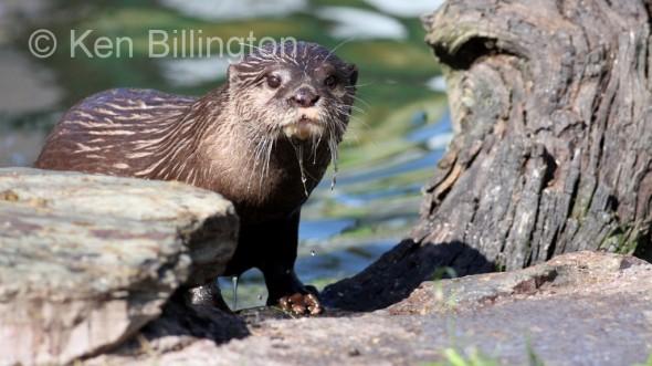 Oriental Small-clawed Otter (Aonyx cinerea)