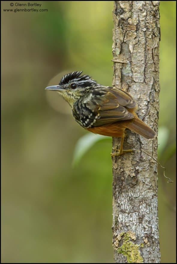Imeri Antwarbler (Hypocnemis flavescens)