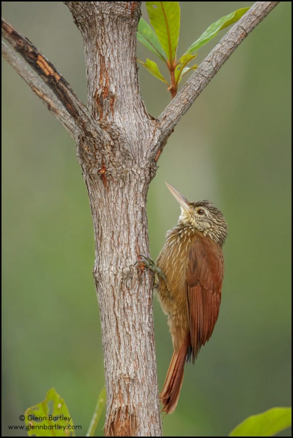 Straight-billed Woodcreeper (Dendroplex picus)