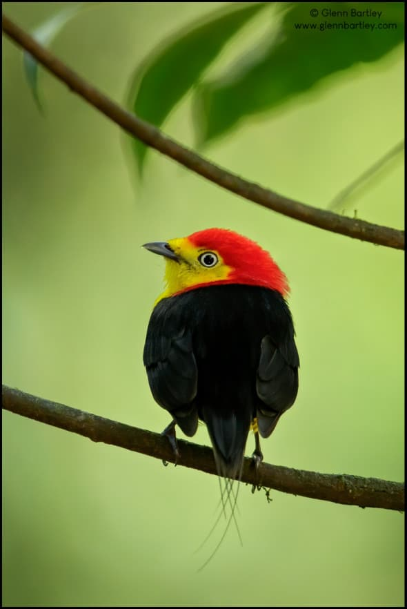 Wire-tailed Manakin (Pipra filicauda)