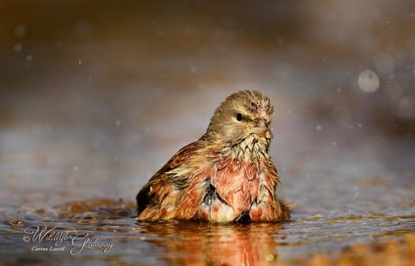 Common Linnet Bathing