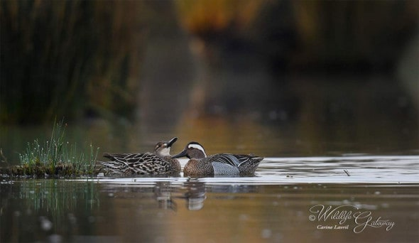Secretive Garganey