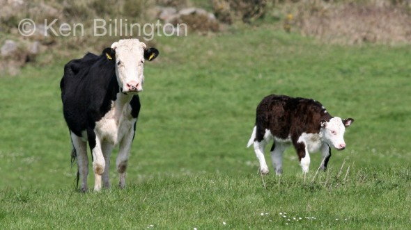 Cattle (Bos taurus) (1)