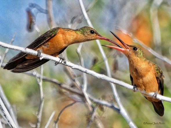 Here's Lunch Big Boy. (Cinnamon Hummingbirds)